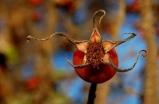 Autumn Star Flower